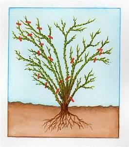 Comment Tailler Les Rosiers : taille des rosiers tout savoir sur la taille du rosier ~ Nature-et-papiers.com Idées de Décoration