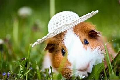 Guinea Pig Animal Pigs Wallpapers Background Eating