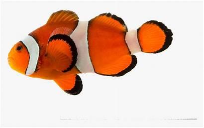 Fish Clown Transparent Kindpng