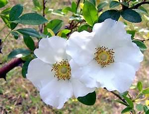Cherokee Rose Georgia State Flower | Georgia state flower ...