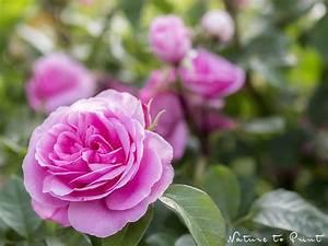 Rosen Selber Ziehen : kletterrose schneiden rosen schneiden in 4 schritten obi ~ Lizthompson.info Haus und Dekorationen