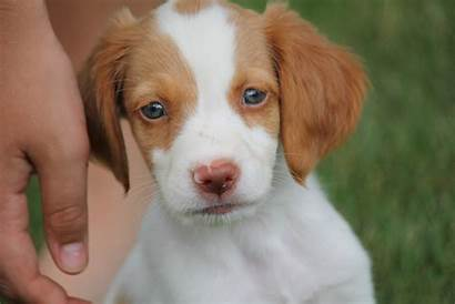Brittany Spaniel Dog Dogs Puppies Perro Puppy