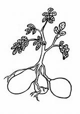 Potato Coloring Plant Pages Printable Drawing Potatoes Sweet Turnip Plants Supercoloring Template Colouring Sheets Tomato Tomatoes Enormous Super Garden Carrots sketch template
