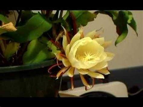moon flowers midnight bloom youtube