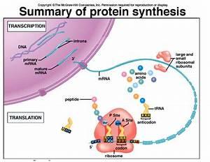 Burgess  Lauren    Unit 6  Protein Synthesis