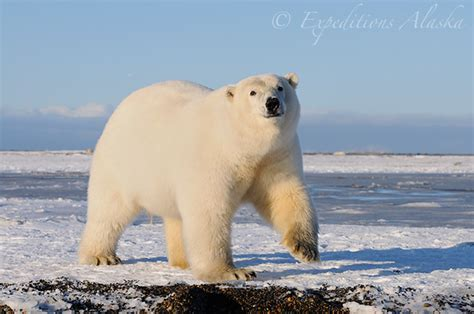 Wallpaper And Screensavers Free Polar Bears