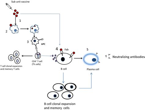 Mechanism of action of covid 19 vaccine and approval by fda 4. Hepatitis B Vaccine and Immunoglobulin: Key Concepts