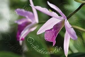 Pflanzen Bestimmen Nach Bildern : orchideenarten im lexikon von a z orchideen nach bildern bestimmen ~ Eleganceandgraceweddings.com Haus und Dekorationen
