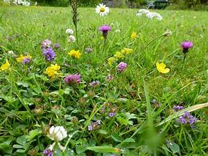 Wild flower lawn seed mix