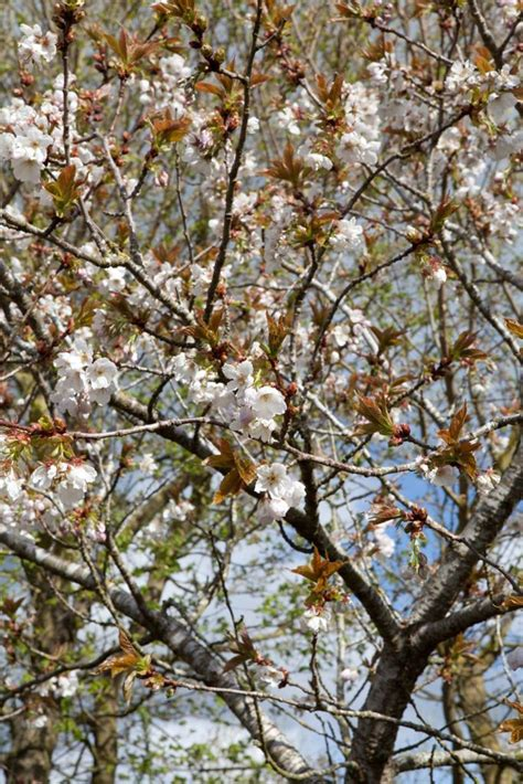 prunus trees for small gardens 17 best images about tai haku on pinterest trees prunus and cherries
