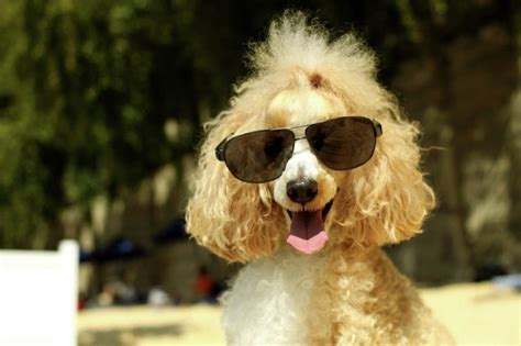 extremely cool dogs  sunglasses snappy pixels
