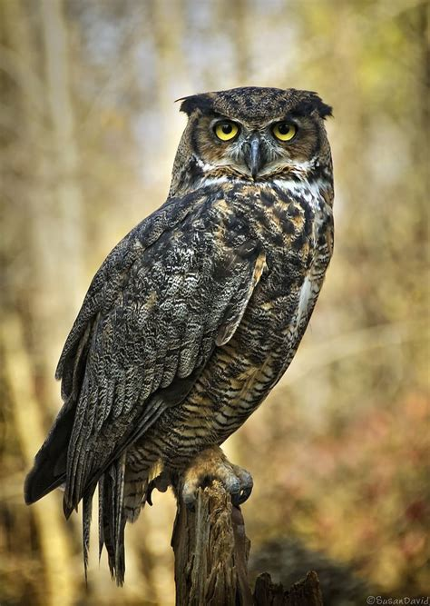grend owl 25 best ideas about great horned owl on owls