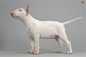English Bull Terrier | Dog Breed Facts, Highlights ...
