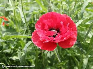 Corn poppy pictures,Shirley poppy pictures,Field poppy ...