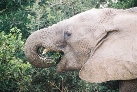 elephant cuisine are manatees and elephants related