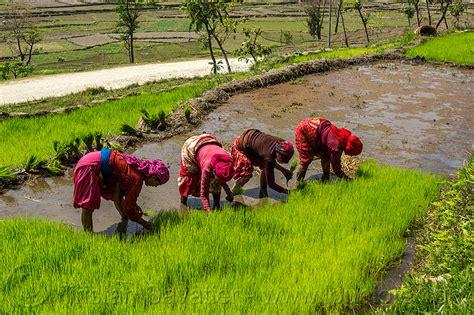 Valley Nursery by Nepali Women Transplanting Rice Seedings Nepal