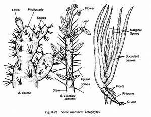 Labelled Diagram Of Pinus Plant