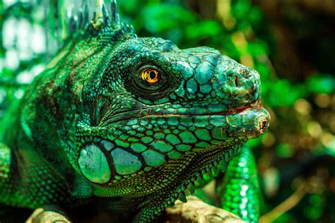 iguana  retina ultra hd wallpaper background image