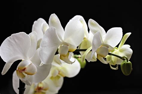 picture white orchid petal exotic nature white