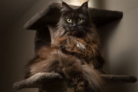 expensive cats most expensive cat breeds in the world fetch pet care