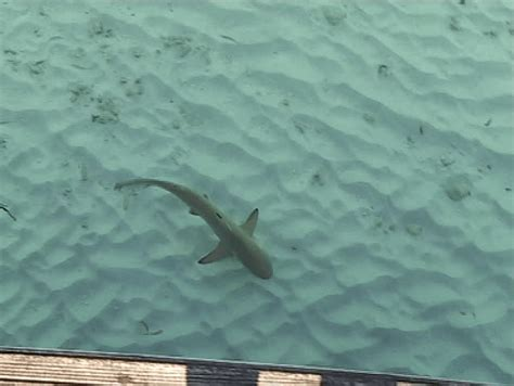 baby sharks swimming  shallow water blacktip reef
