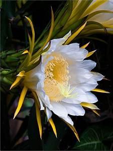 Dragon Fruit (Hylocereus) - Cactus Nature's Beauty