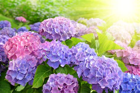 what is a hydrangea flower hydrangea flower meaning flower meaning