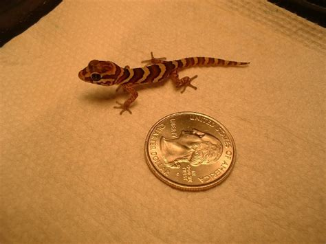 panther gecko panther gecko