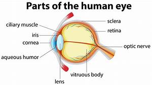 Aqueous Humor And Its Role In The Eye