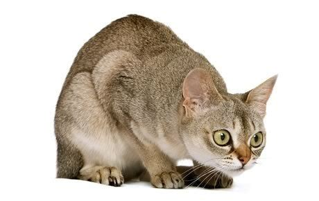 what type of cat sheds the least top 17 least shedding cat breeds cattime