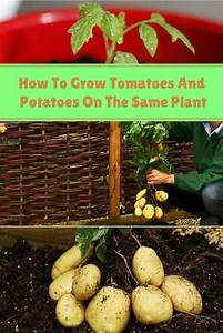 How To Grow Tomatoes And Potatoes On The Same Plant - Home