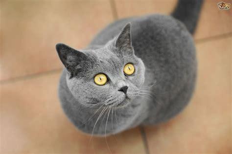 uks top   popular cat breeds petshomes