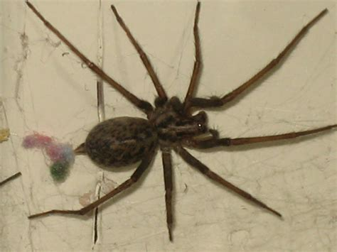 house spider biological science picture directory