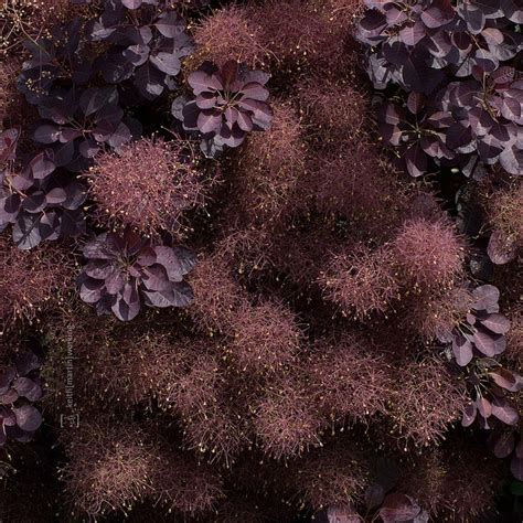 smoke tree smoke tree things pinterest