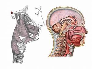 Anatomie Anatomie Du Pharynx