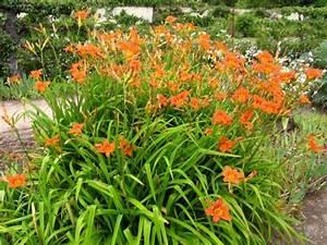 Fleur De Lys Plante : h m rocalle lis d 39 un jour hemerocallis planter cultiver ~ Melissatoandfro.com Idées de Décoration