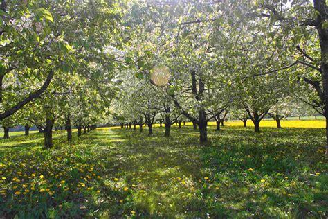 Garten Gestalten Obstbäume by File Obstb 228 Ume Jpg Wikimedia Commons