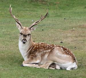 25 Amazing Fallow deer Picture - MagMent