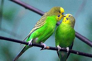 Learn All About Pet Budgie Birds