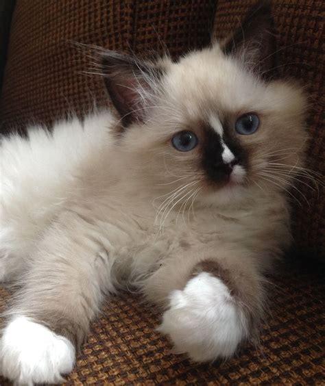 25+ Best Ideas About Ragdoll Cats On Pinterest Ragdoll