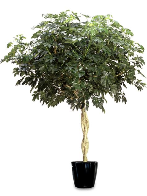 Outdoor Tree Planters by Schefflera Arboricola Braid Tree