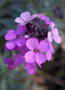 Pink Perennial with Purple Flowers