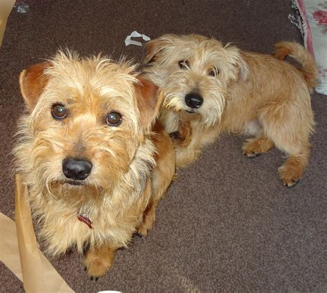 Zippy Zappy Small Terrier Brothers Terrier Sos A Uk Based Dog Rescue
