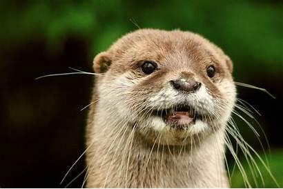 Animals Otters Mammals Backgrounds Wallpapers Desktop Mobile