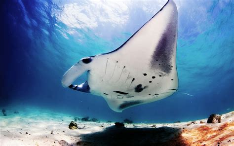 pictures  manta ray hd desktop wallpapers  hd