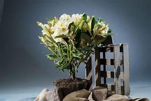 Kleinwüchsige Immergrüne Hecke : rhododendron golden melodie rhododendron yakushimanum ~ Lizthompson.info Haus und Dekorationen