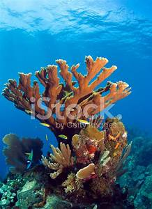 Underwater Coral Reef Elkhorn Stock Photos - FreeImages.com