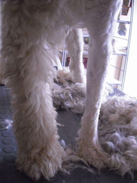 tondre  chien tres trop poilu   forum cheval