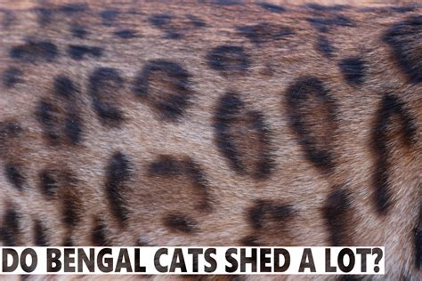 my is shedding a lot do bengal cats shed a lot blindbengal