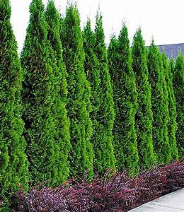 Schattenpflanzen Garten Winterhart : lebensbaum hecke thuja smaragd 1a pflanzen baldur garten ~ Sanjose-hotels-ca.com Haus und Dekorationen